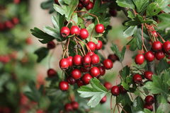 Hawthorn berries. Ripe hawthorn berries on the tree Royalty Free Stock Photography