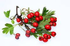 Hawthorn berries. Ripening, medicinal plant Royalty Free Stock Photo