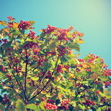 Hawthorn berries Stock Image