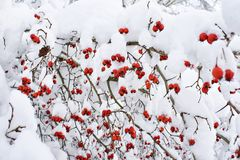 Hawthorn berries in snow in winter Royalty Free Stock Images