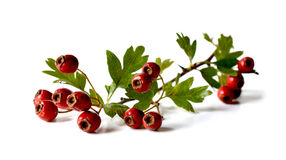 Hawthorn Berries on a stem. Studio macro of a stem of fresh autumnal Hawthorn berries with soft shadows. Copy space royalty free stock images