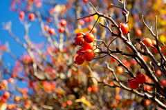 Hawthorn berries in the sunlight Stock Photo