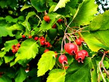 Hawthorn berries on a tree stock image
