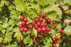 Hawthorn berries. Berries on the hawthorn tree - bush with bunch of red berries Royalty Free Stock Photo