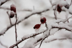 Hawthorn berries under heavy snow and ice Royalty Free Stock Images