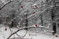 Hawthorn berries under heavy snow and ice Royalty Free Stock Photography