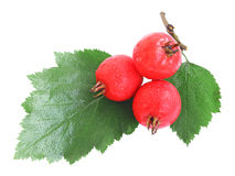 Hawthorn berries with water drops Stock Photography