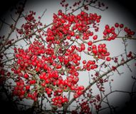 Hawthorn Berries in Winter. Trees laden with vibrant red Hawthorn berries ready for harvesting or Winter food for the birds taken in Co.Leitrim, Ireland Royalty Free Stock Photos
