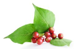 Hawthorn berry Stock Photos