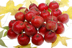 Hawthorn berry in autumn Stock Images