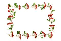 Hawthorn Berry Border stock images