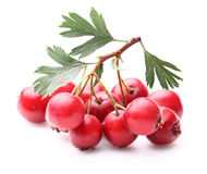 Hawthorn berry Stock Images