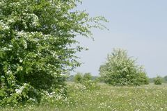 Hawthorn blooming trees Royalty Free Stock Photography