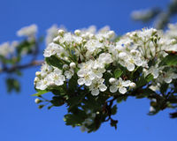 Hawthorn Blossom royalty free stock images