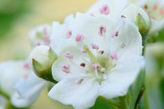 Hawthorn blossom in bloom. Macro shot of Hawthorn blossom in bloom Royalty Free Stock Image