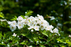 Hawthorn blossom. Blossoming hawthorn or maythorn, Crataegus, flowers and leaves close-up Royalty Free Stock Photography