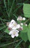 Hawthorn blossom stock photos