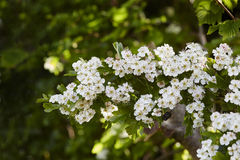 Hawthorn blossom Stock Photography