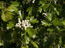 Hawthorn Blossom Buds Stock Images