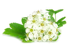 Hawthorn blossom Royalty Free Stock Photo