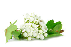 Hawthorn blossom Royalty Free Stock Photos