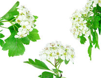 Hawthorn blossom Stock Images
