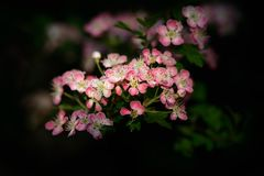 Hawthorn Blossom on Dark Background Royalty Free Stock Image