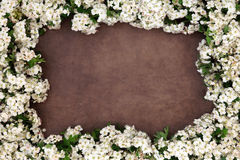 Hawthorn Blossom Flower Frame. Forming an abstract border over lokta paper background Stock Photo