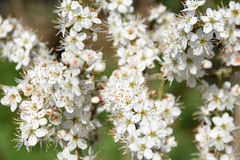 Hawthorn Blossom in Hedgerow Stock Photography