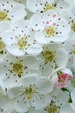 Hawthorn blossom macro. White Hawthorn blossom macro portrait Stock Images