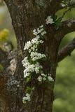 Hawthorn Blossom Stock Image