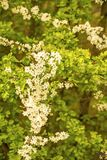 Hawthorn blossom in spring in Germany Royalty Free Stock Photos