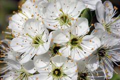Hawthorn Blossom in Sunlight Stock Photo