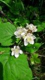 Hawthorn blossom. Treeton Rotherham stock image