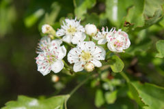 Hawthorn blossoms Stock Photo