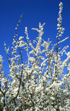 Hawthorn and blue sky. Upper branches of hawthorn bush in full bloom against blue sky stock image
