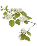 Hawthorn. Branch close up on white background Royalty Free Stock Photography
