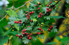 Hawthorn. Branch with fruits and leaves Royalty Free Stock Photo