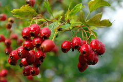 Hawthorn on branch Royalty Free Stock Photo