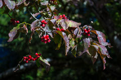 Hawthorn branch with red berries. Healthy red berries of the hawthorn tree Royalty Free Stock Photos