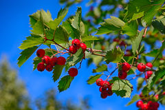 Hawthorn branch Royalty Free Stock Image