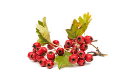 Hawthorn branch. On a white background Royalty Free Stock Photo