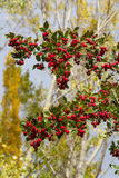 Hawthorn Branches with Red Fruits Stock Photos