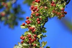 Hawthorn bush Stock Photos