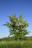 Hawthorn bush Royalty Free Stock Images