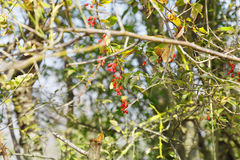 Hawthorn bush with berries in autumn Stock Image