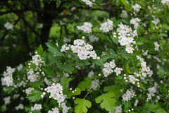 hawthorn bush Royalty Free Stock Photography