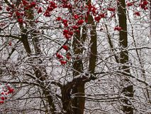 Hawthorn bush in the foreground of the crop. Red crop on snowy branches stock photo