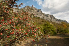 Hawthorn bush in the mountains Stock Photos