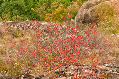 Hawthorn bush with red berries on the rocks. Stock Photos